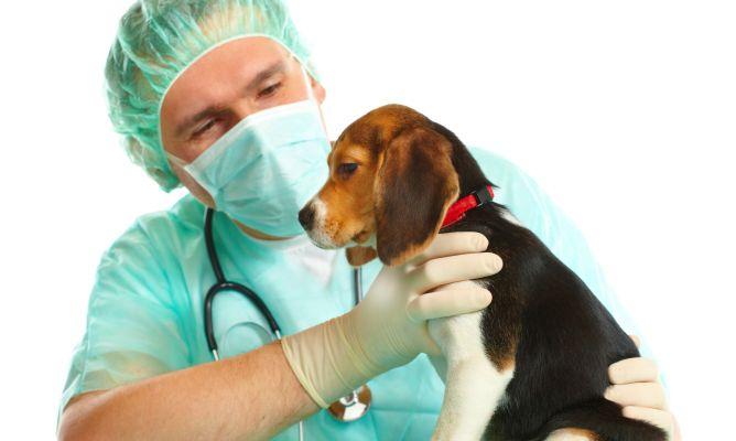 Consulta veterinaria castracion de perros y perras