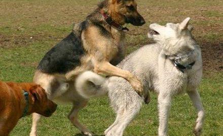 Pelea de perros agresión dominancia celo