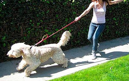 Como enseñarle a caminar a mi perra perro